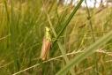 Euthystira_brachyptera