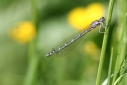 Coenagrion_ornatum_01