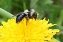 Andrena_cineraria
