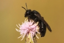 Andrena_pilipes